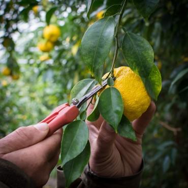 Récolte du Yuzu - Agrumes Bachès Schaller